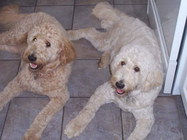 Difference Between Labradoodle And Goldendoodle