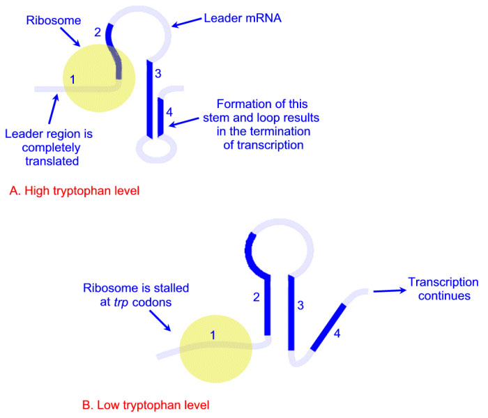Difference between Lac and Trp Operon