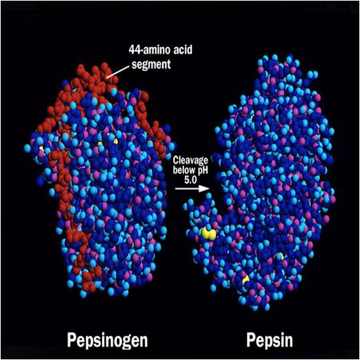 Pepsin and Pepsinogen