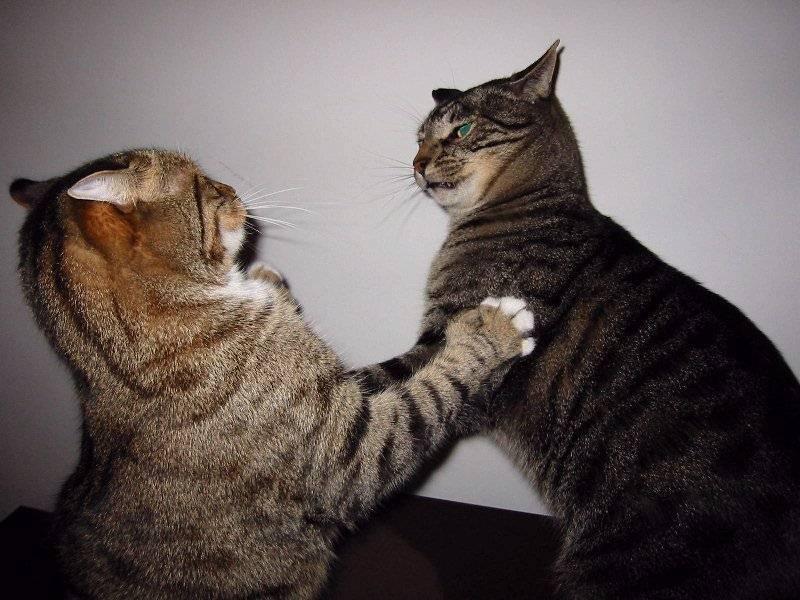 Cat fighting