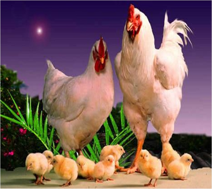 How to Breed Chickens at Home