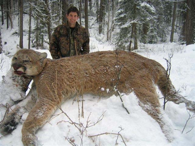 Legally Hunted Cougar