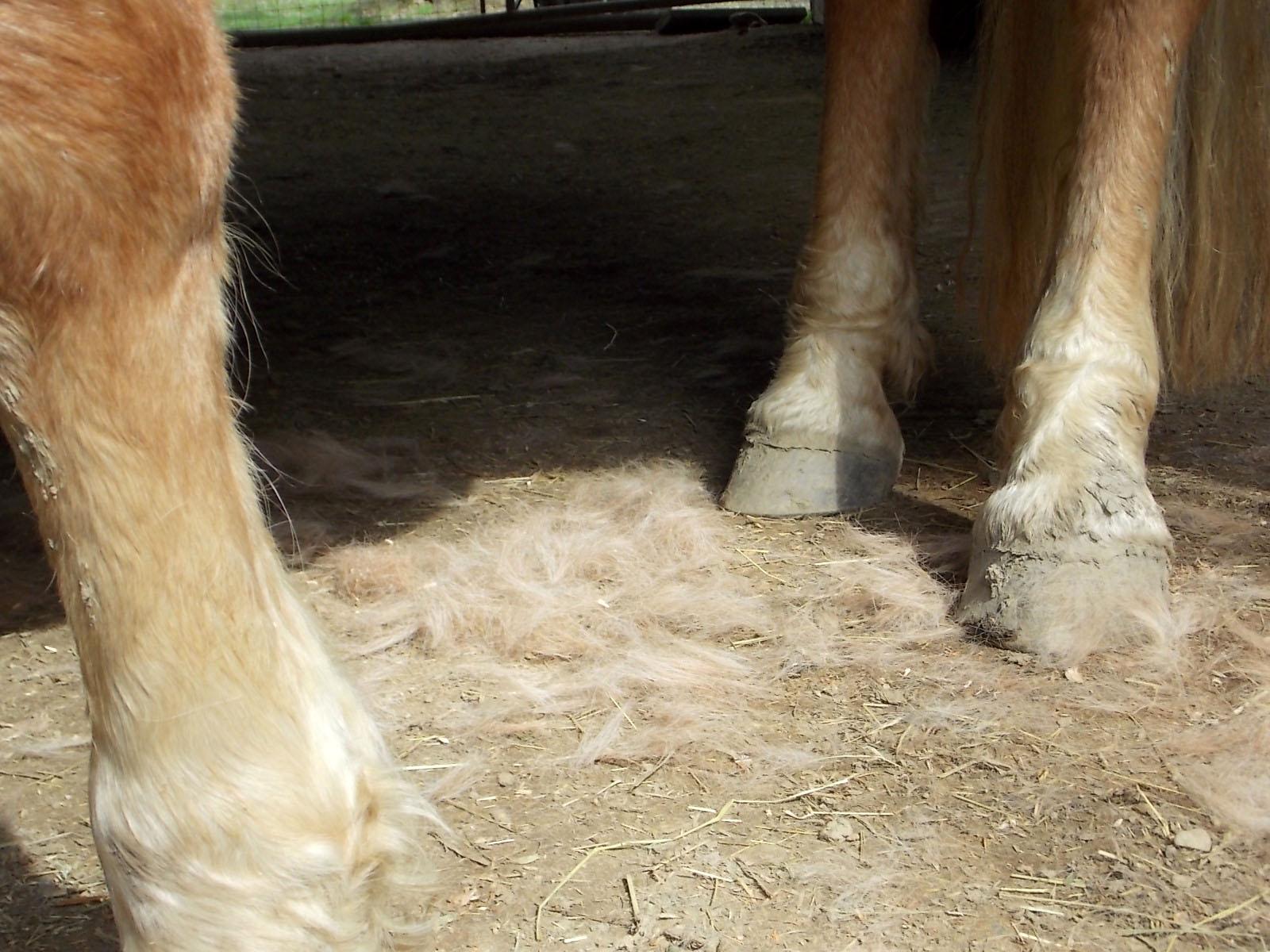 Shed Your Shetland Pony Using the Furminator