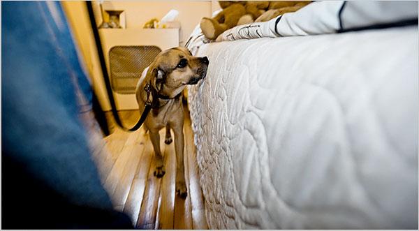 Bed Bug Dog