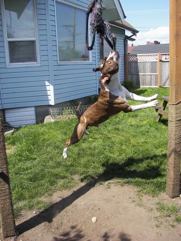 Spring Pole for Dog