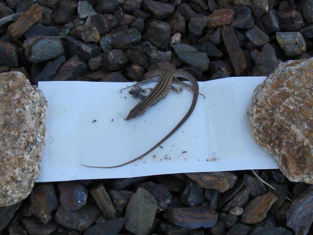 Catching Lizard With Glue Board