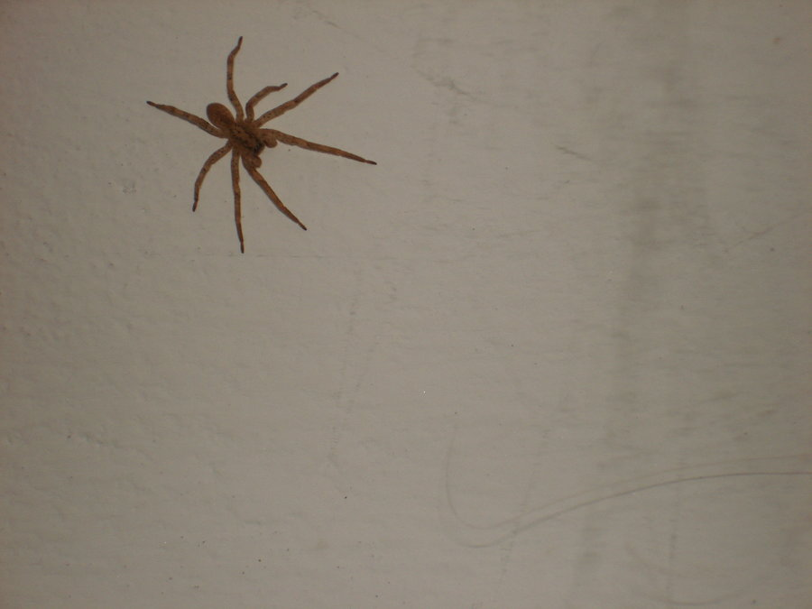 Spiders in the House
