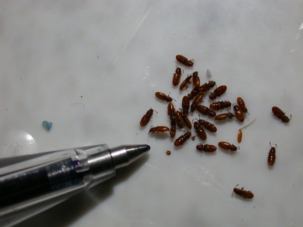 How to Get Rid of Foreign Grain Beetles