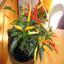 Garden Salsa Peppers