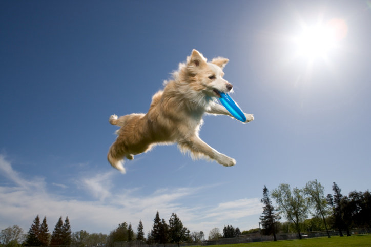 Dog to Catch Frisbees