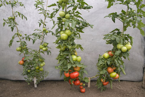 How to Grow Bigger Tomatoes at Home
