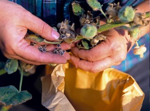 Harvest Hollyhock Seeds