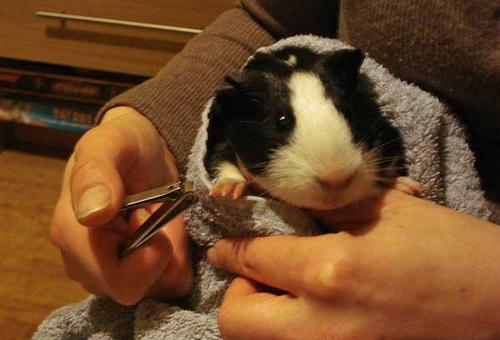 Trimming Guinea Pig Nails