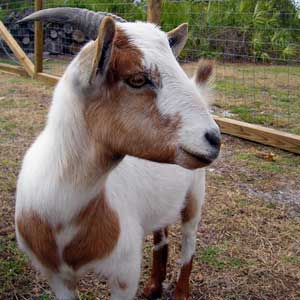 How to Give a Goat a Shot of Penicillin