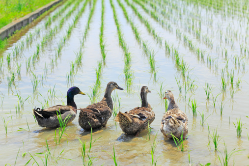 How to Grow Rice for Ducks