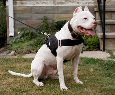 How to Train a Pit-bull to Guard Your Home