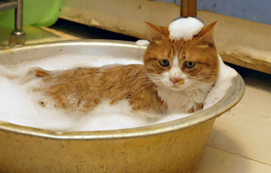 Give cat a bath