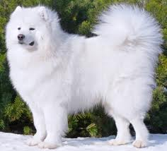 How to Care for a Samoyed Puppy