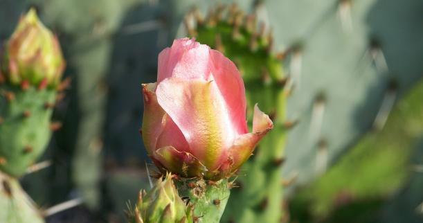 How to Grow Roses in the Desert