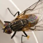 house_fly-spl-1